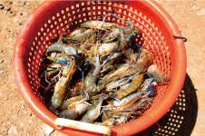 Romy's Kahuku Prawns & Shrimp Hut