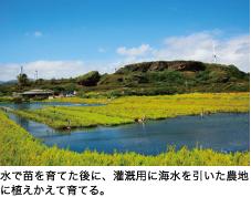 水で苗を育てた後に、灌漑用に海水を引いた農地に植えかえて育てる。