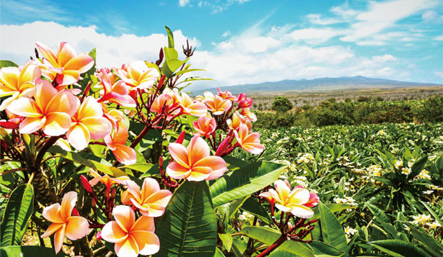 ハワイ随一の大きさを<br>プルメリア農園